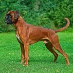 castrazione cane maschio