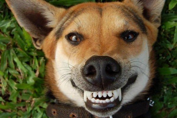 come pulire i denti al cane