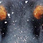 forfora nel pelo di cane e gatto