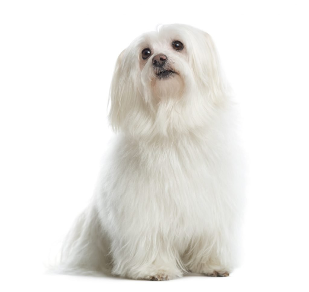 toelettatura cane maltese